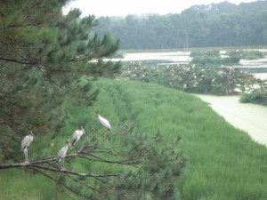 Wood Stork at Harris Neck National Wildlife Refuge